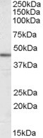 NB300-978 - ACTA2 / aortic smooth muscle Actin
