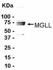NB100-2493 - Monoglyceride lipase