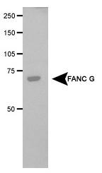 NB100-2566 - XRCC9 / FANCG