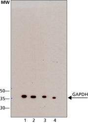 NB110-40405 - GAPDH
