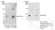 NB110-40552 - PPP3CA / Calcineurin A
