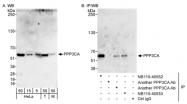 NB110-40553 - PPP3CA / Calcineurin A