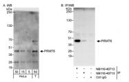 NB110-40713 - PRMT6 / HRMT1L6