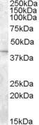 NB100-40795 - SLC24A5