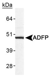 NB110-40878 - Adipophilin / ADFP