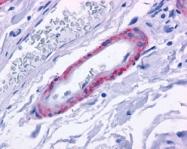 NLS12 - Alpha-1D adrenergic receptor