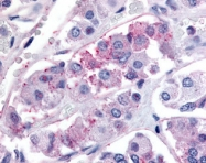 NLS3148 - GPR73b / Prokineticin receptor 2