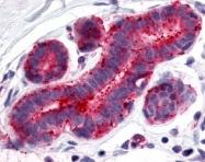 NLS5960 - Estrogen-related receptor gamma