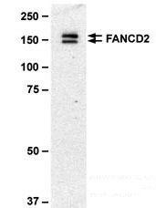 NB100-411 - FANCD2
