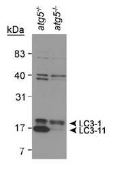 NB910-40752 - LC3 / LC3B Antibody pack