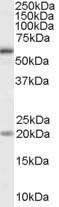 NB100-41375 - CD292 / BMPR1A