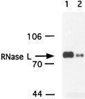 NB100-351 - RNASEL
