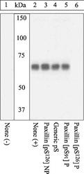 NSB1022 - Paxillin /  PXN