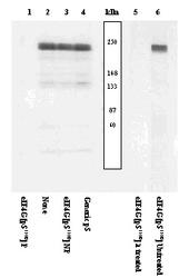 NSB526 - EIF4G1 / EIF4F