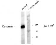 NB300-210 - Dynamin-1