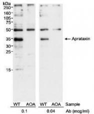 NB100-534 - Aprataxin