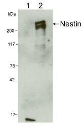 NB300-266 - Nestin
