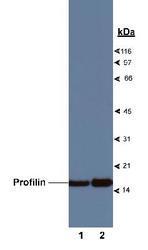 NB200-162 - Profilin-1 / PFN1