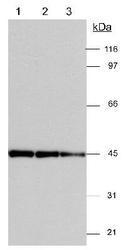 NB600-533 - Actin gamma / ACTG