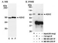NB600-281 - ASH2L / ASH2L1