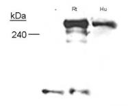 NB300-153 - Neurofibromin