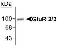 NB300-302 - Glutamate receptor 2 / GLUR2