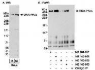 NB100-659 - DNA-PKcs / PRKDC / XRCC7