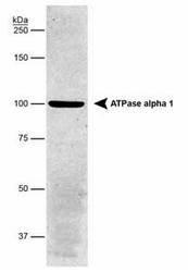 NB300-146 - ATP1A1
