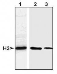NB500-171 - Histone H3