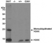 NB100-383 - Histone H2A.x