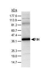 NB100-428 - HIF1AN / FIH1