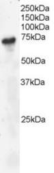 NB100-804 - B-cell linker protein / BLNK