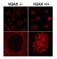NB100-638 - Histone H2A.x