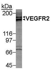 NB100-530 - CD309 / VEGFR-2 / Flk-1