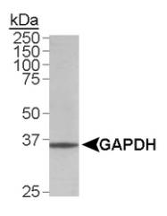 NB300-320 - GAPDH