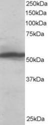 NB100-1371 - KPNA2 / Importin alpha-2