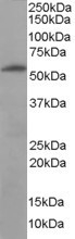 NB100-1448 - 58K Golgi Protein