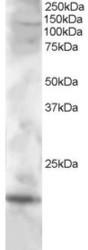 NB100-1034 - Cystatin-F