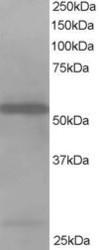NB100-1036 - Drebrin-like protein (DBNL)