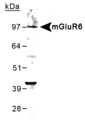 NB300-189 - mGluR6 / GRM6