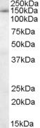 NB100-1077 - SF3B3 / SAP130