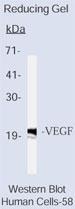 NB600-548 - VEGF-A