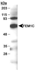 NB100-784 - FEM1C /  FEM1-gamma