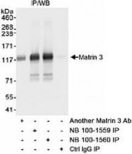 NB100-1559 - Matrin-3