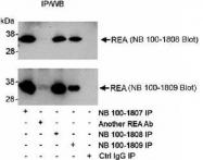 NB100-1807 - Prohibitin-2