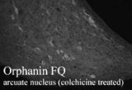NB100-1619 - Nociceptin