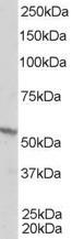NB100-1467 - RXR-beta / RXRB