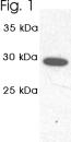 NB300-624 - PSMA1