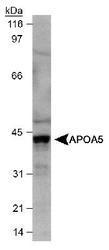 NB400-139 - Apolipoprotein A V / ApoA5