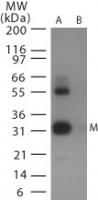 NB100-1933 - Influenza A H5N1